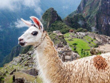 Llama blocking the view of Machu Picchu in Peru